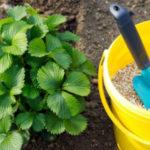 Чем подкормить клубнику осенью для хорошего урожая