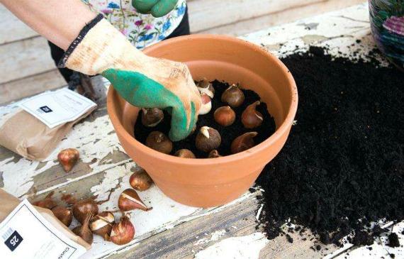Если не успели посадить тюльпаны осенью – что делать?