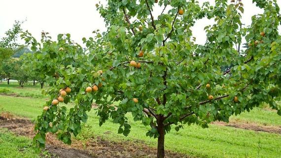 Когда ожидать плодоношения от абрикоса, посаженного косточкой