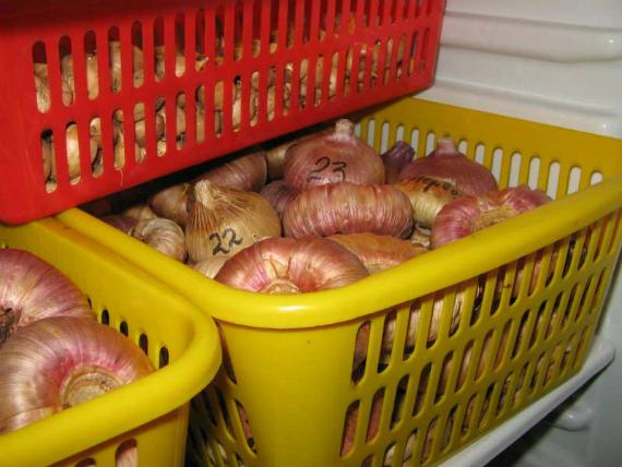 Как правильно хранить луковицы в ящиках