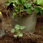 Посадка клубники осенью: когда и как посадить