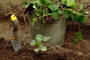Посадка клубники осенью в открытый грунт Усами На агроволокно Сроки Видео