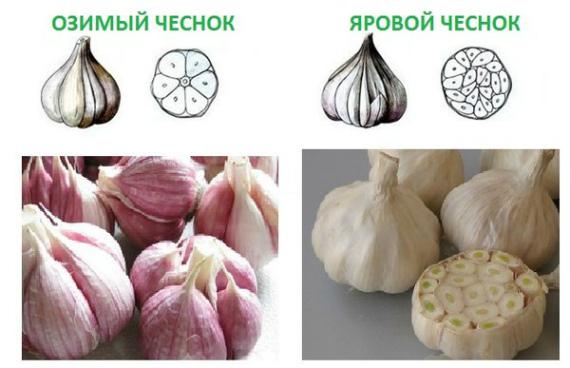 Как отличить зимние сорта чеснока от яровых