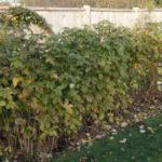 Чем удобрять малину осенью, чтобы был хороший урожай