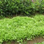 Горчица как сидерат: когда сеять и когда закапывать