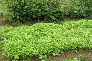 Горчица как сидерат: когда сеять и когда закапывать Весной Осенью Под какие овощи Видео