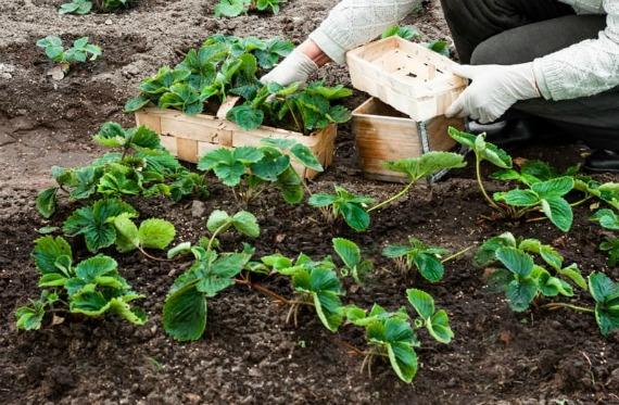 Как правильно осенью посадить клубнику в открытый грунт