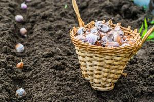 Посадка чеснока осенью: когда и как посадить в Московской области, в Сибири, на Урале, в ленинградской области Видео