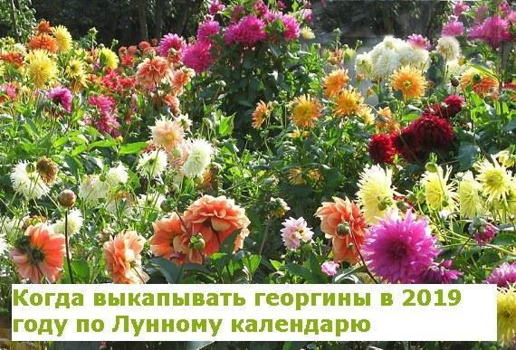 Благоприятные дни уборки георгинов в 2019 году по Лунному календарю