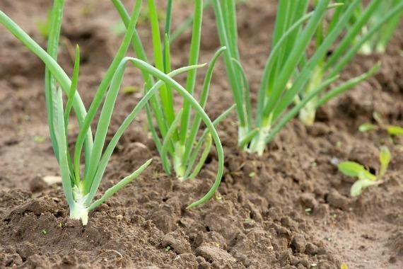 Уход за луком весной посаженный под зиму