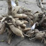 Когда выкапывать георгины на зиму и как хранить