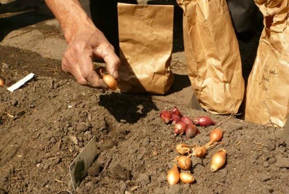 Когда сажать лук под зиму в регионах