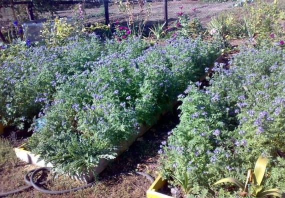 Какие виды фацелии подходят для выращивания на садовом участке