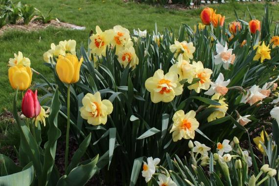 Тюльпаны с нарциссами фото