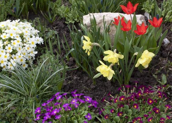Тюльпаны, нарциссы и примулы
