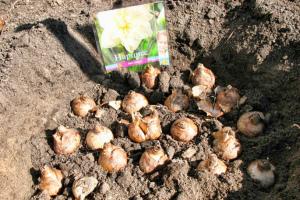 Как посадить луковицы нарциссов осенью