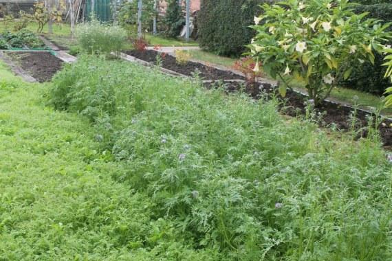 Как вырастить фацелию на садовом участке
