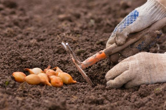 Когда сажать озимый лук в Ленинградской области