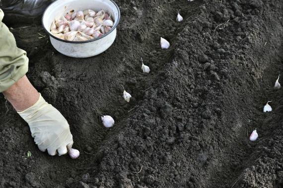 Как правильно посадить чеснок в открытый грунт осенью