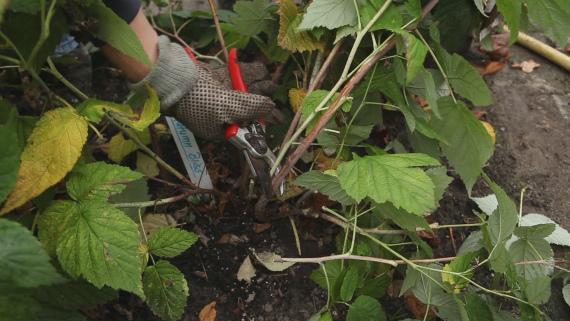 Чем подкормить малину после сбора урожая и обрезки
