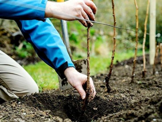 Когда и как посадить малину осенью