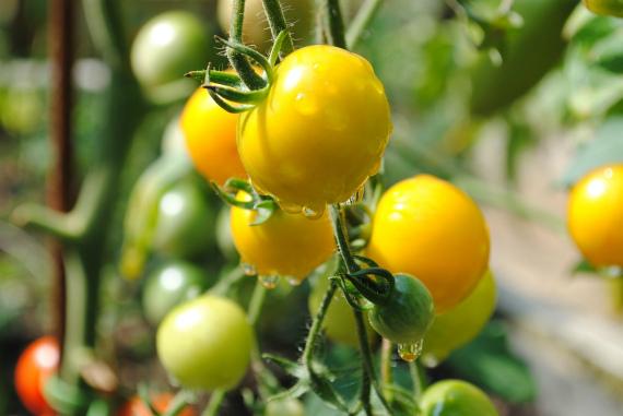 Какого цвета полезнее томаты