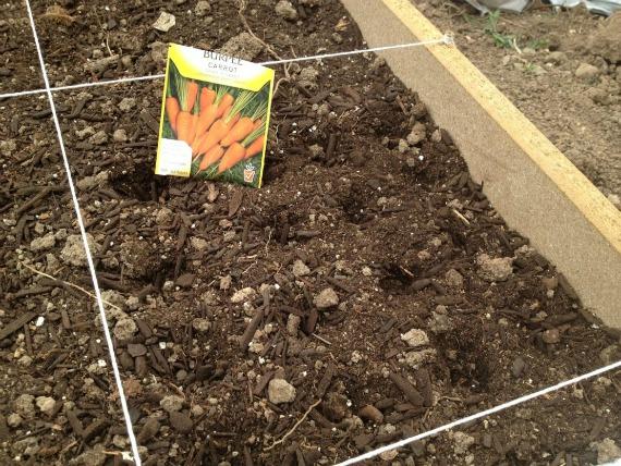 Преимущества и недостатки подзимнего посева моркови