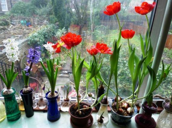 Рекомендуемые сорта тюльпанов для выгонки дома