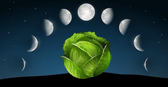 О влиянии Луны на заготовку капусты