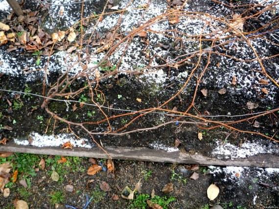 Когда укрывать виноград на зиму в регионах, сроки