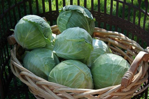 Как определить, что капуста созрела и готова к уборке