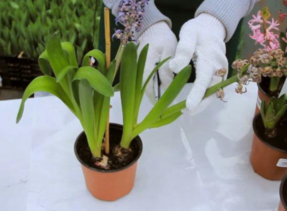Что делать с гиацинтами после цветения