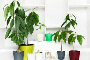 Авокадо из косточки в домашних условиях выращивание и уход Фото Видео