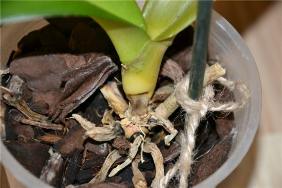 Гниют корни у орхидеи, что делать