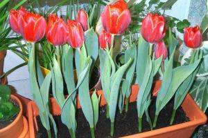 Выгонка тюльпанов к 8 марта в домашних условиях Пошаговая инструкция Фото Видео