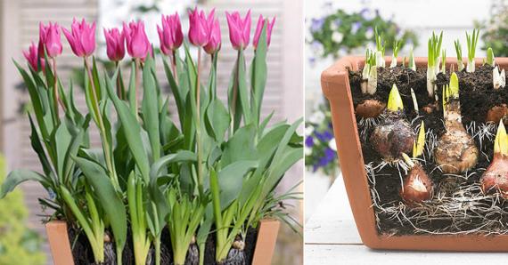 Когда сажать тюльпаны на выгонку к 8 марта: сроки