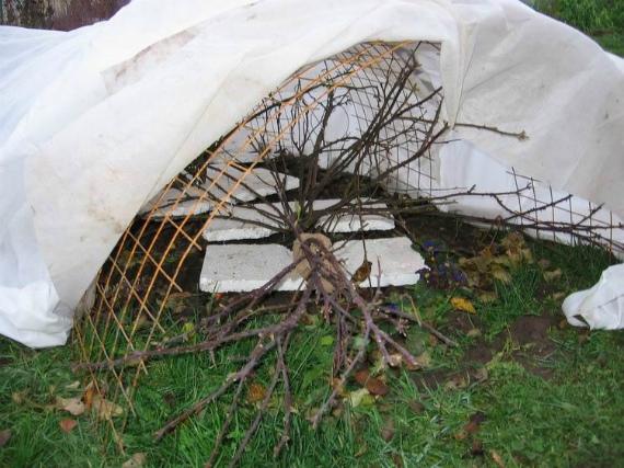 При какой температуре воздуха начинают укрывать розарий