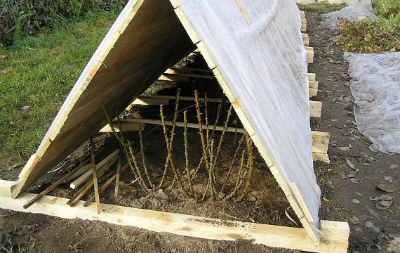 При какой температуре воздуха начинать укрытие розария