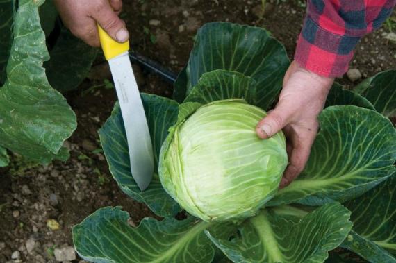 Когда убирать капусту с огорода на хранение в регионах