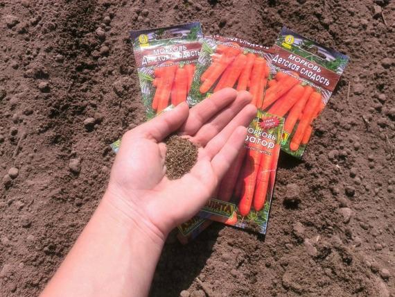Когда сеять морковь под зиму в Ленинградской области