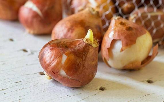Выбор луковиц и подготовка к посадке
