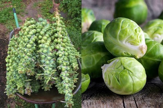 Брюссельская капуста сбор урожая