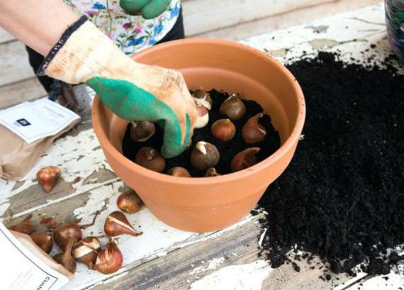 Как правильно посадить тюльпаны на выгонку