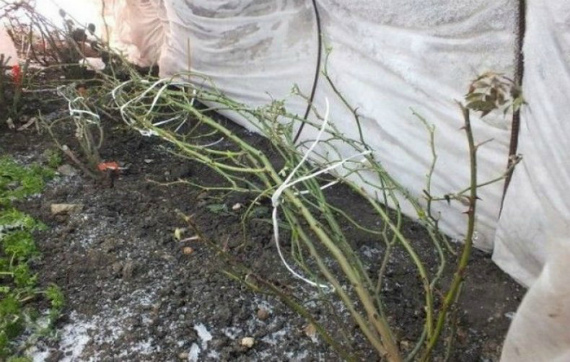 Как укрыть плетистые розы на зиму в Подмосковье