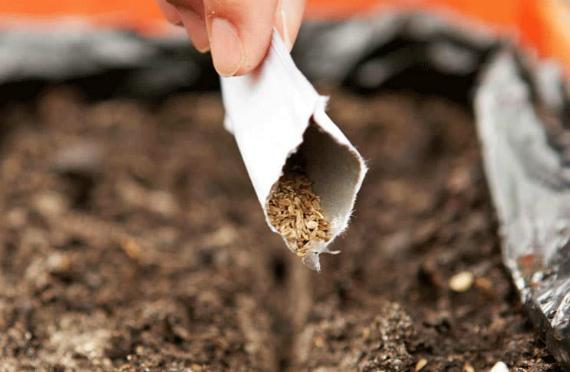 Как правильно посеять морковь под зиму
