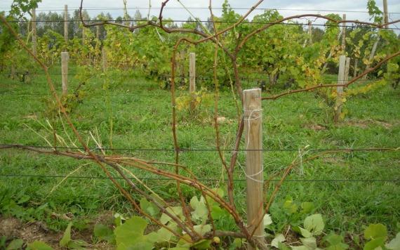 Как подготовить виноград к укрытию