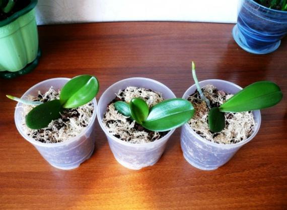 Как в дальнейшем ухаживать за молодыми орхидеями