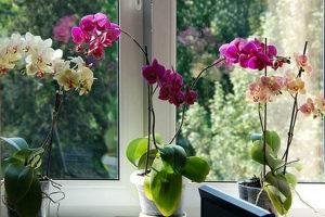 Как размножить орхидею в домашних условиях черенками, детами, с помощью цветоноса Фото