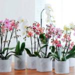Как пересадить орхидею в домашних условиях в другой горшок