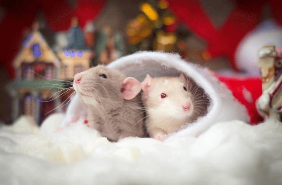 Каким будет год Белой Крысы, чего ждать